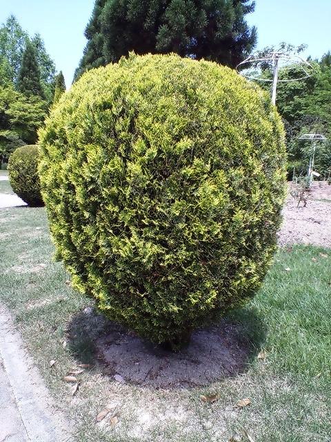 まん丸の木