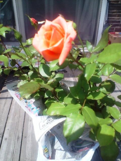 母の日バラ