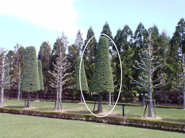 パラソルチョコの並木